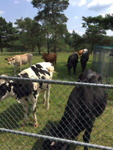 cows for sale, raised on grass