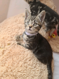 Taby kittens for sale 3 boys and one girl