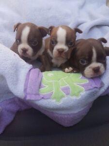 Beautiful Boston Terrier Babies !!