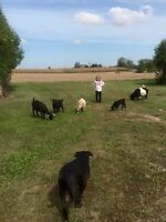 3 pigmy goats for sale