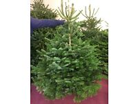 Nordmann Christmas trees xmas trees low drop