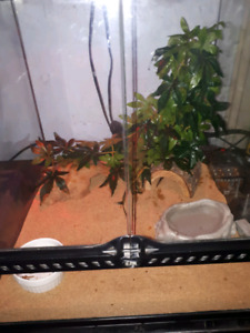 Breeding pair of armadillo lizzards with full setup