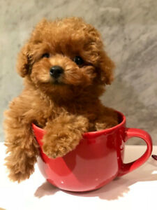 Super Cute❤️ purebred toy poodle puppies❤️