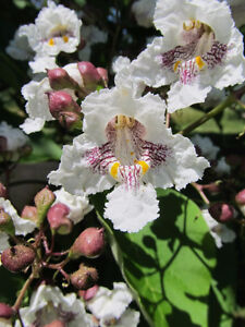 Hardy Two Year Old Northern Catalpa Cigar Tree Peterborough Peterborough Area image 2