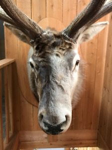 Panache Wapiti / Elk mount 6x6