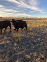 Bred Heifers Red Angus Simmental and Black Angus Simmental Cross