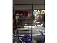 Budgie with cage 1 male and 1 female