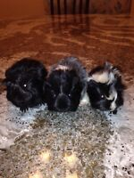 Long haired guinie pigs