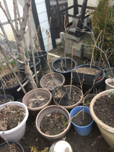 FOR SALE - MULBERRY/CEDAR/RUSSIAN OLIVE TREES & BUSHES