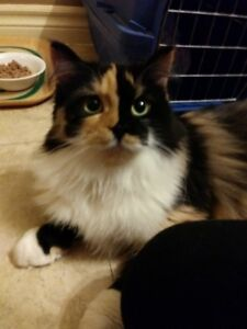 Saffron - long haired Calico available for adoption