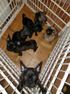 Bugg Pups ready for home!!!