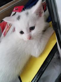Kitten-female