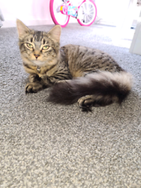 Long haired female tabby 7 months old