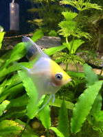 Freshwater Golden Yellow Angelfish