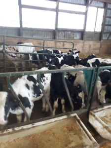 Holstein Feeders For Sale