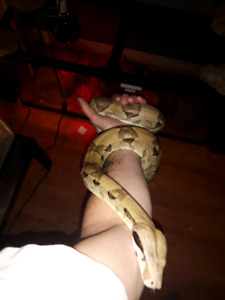 Ghost boa with enclosure