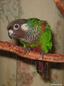 White Eared Conure Male