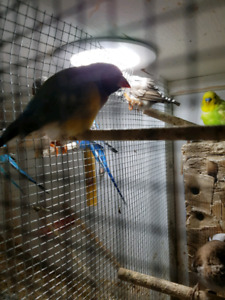 Finches birds for sale