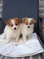 Adorable and Super Sweet Pom Puppies