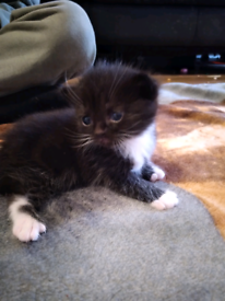 2 beautiful black and white kittens