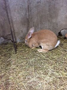 Giants Flemish rabbits for sale