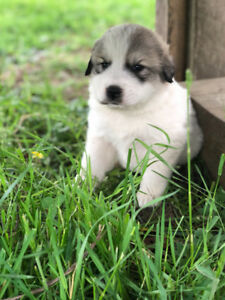 8 Great Pyrenees Puppies available June 28th