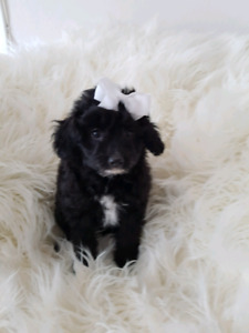 Toy Aussie Poodle Puppies