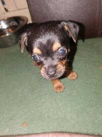Chihuahua x miniature york