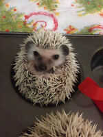 Hedgehogs - salt n pepper, snowflake, chocolate chip, and more
