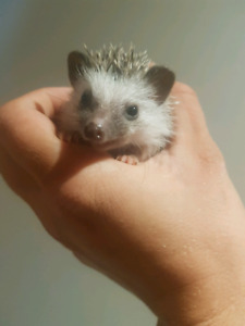 Babys hedghogs ready soon :)