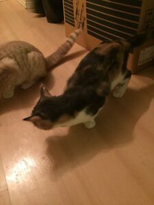 Free cat calico very beautiful and friendly
