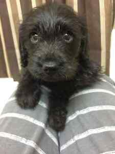 Schnoodle Pups!! Hypo Allergenic and Non Shedding!!