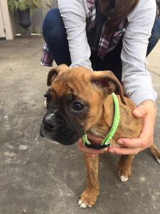 Nine Boxer Puppies for Sale