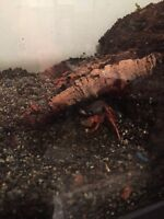 Halloween crab and tank for sale