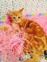 Cheeto - Lost Cat - Male Orange Tabby DSH