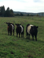 Belted Galloways in Wakefield QC