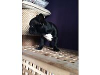 Black and red French bulldog
