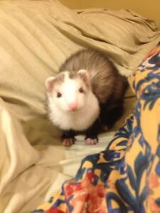 Looking to adopt a ferret - Experienced Home