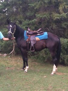 Two year old black quarter horse x