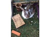Female Bunny Rabbit -Free to good home