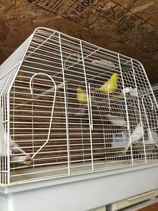 Canaries for sale  Cambridge Kitchener Area image 4