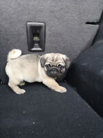 1 male Pug puppies. Ready to go