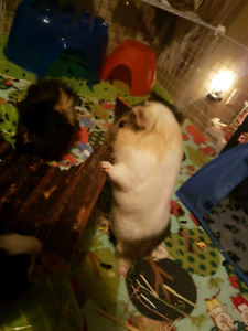 3 Male Guinea Pigs in need of a new home