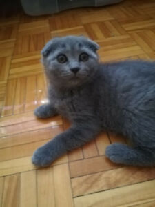 Short hair SCOTTISH FOLD blue color female