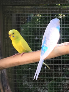 Young Summer Budgies Males & Females