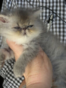$150 OFF! EXTREME FACE RARER BLUE TABBY MALE PURE PERSIAN kitten