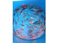Koi carp koi fish pond fish pond clearance