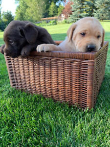 2 Left!! Adorable Canada Day Lab Puppies