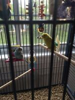 2 budgies with everything
