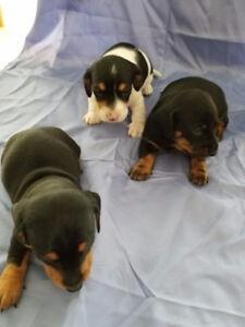 Beautiful min. Dachshund puppies